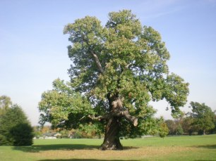 sweet_chestnut_tree_in_carshalton_park_-_geograph-org-uk_-_1534352