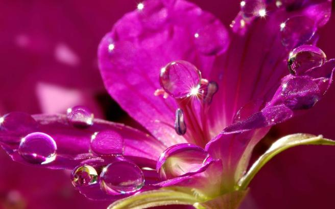 fiore-water_drops_on_a_pink_flower-1536502