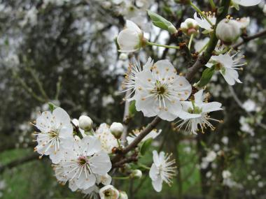 cherry-plum-flower