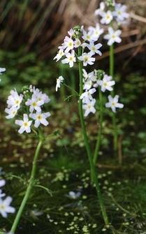 Water_Violet.jpg