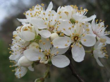 cherry-plum-blossom.jpg